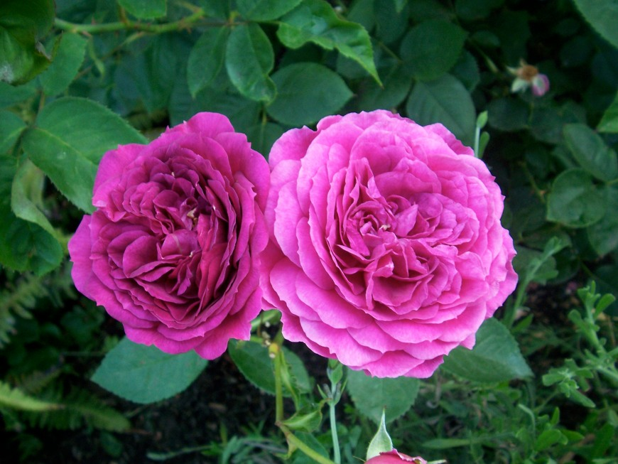hot pink roses, slimpaley.com