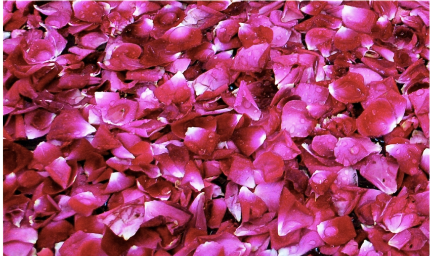 rose petals, slimpaley.com
