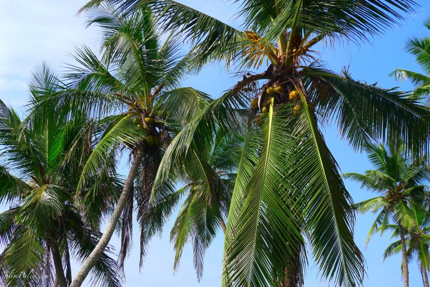 palm trees, Sri Lanka