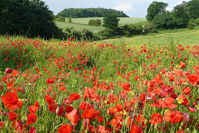 Poppies_on_the_field_edge_-_geograph.org.uk_-_850219