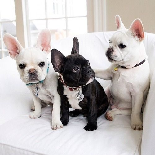 black & white French Bull dogs